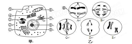 """""""习题详情  (10分)下图甲是某高等动物细胞亚显微结构示意图,图乙是该"""