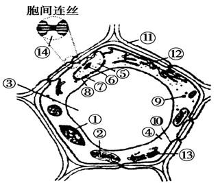 下图为动,植物细胞亚显微结构模式图,请根据图示分析回答:([ ]内写
