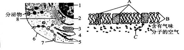 (16分)如图所示为高等动物细胞及细胞膜的亚显微结构模式图(局部)请据