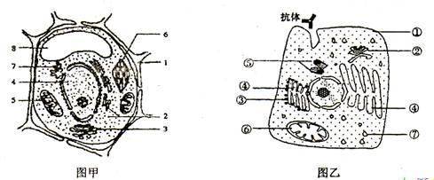 (9分)图甲为高等植物细胞的亚显微结构模式图,图乙某动物分泌细胞亚