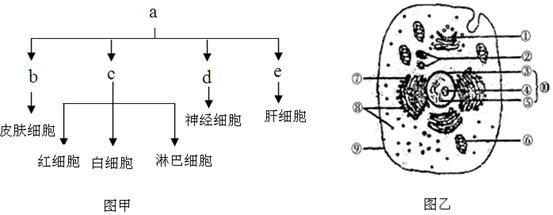 图甲为人体的部分细胞分化示意图,图乙为人体细胞结构示意图.