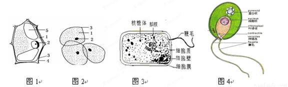 大肠杆菌细胞和衣藻细胞