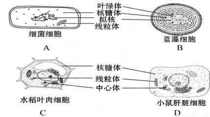 下列细胞亚显微结构示意图,正确的是