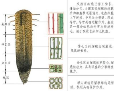 在植物的根尖结构中,生长最快的部分和吸收水分的主要
