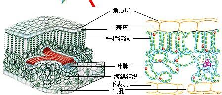 解:叶片的结构包括:叶肉,叶脉,表皮三部分.如图