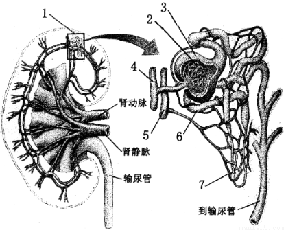 """""""下图为肾脏宏观结构及其微观结构示意图,请.""""习题详情"""