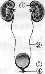 下图是泌尿系统的结构简图,请据图回答:(9分)